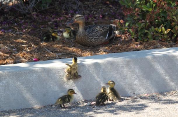 ducklings1-w