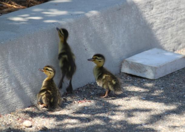 ducklings2-w