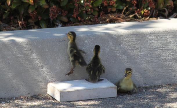 ducklings3-w