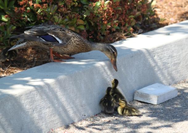 ducklings5-w