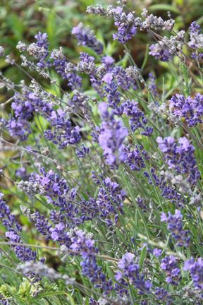 lavender-w
