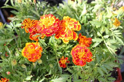 marigolds-w