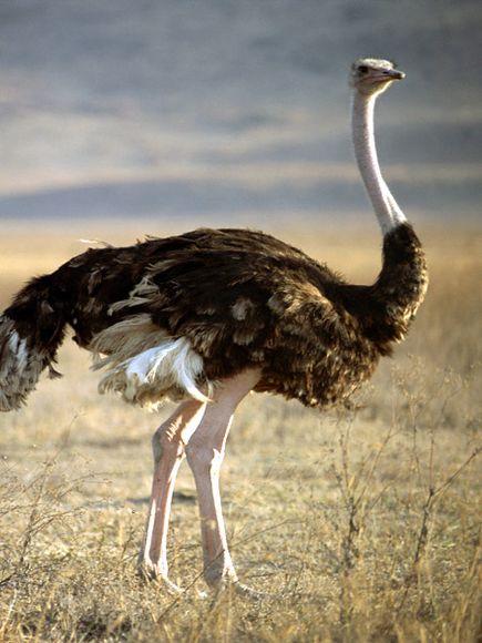ostrich_653_600x450