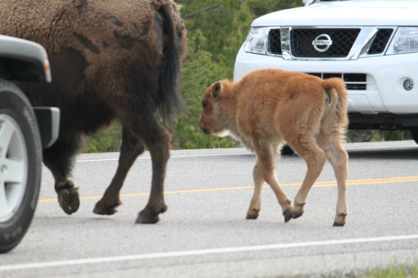buffalo2012-w