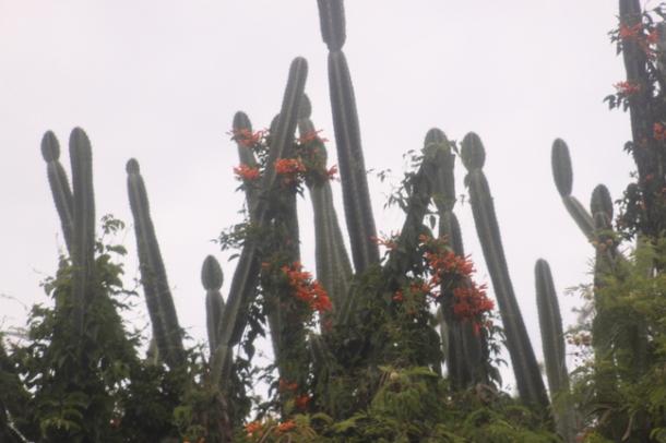 cactus-w
