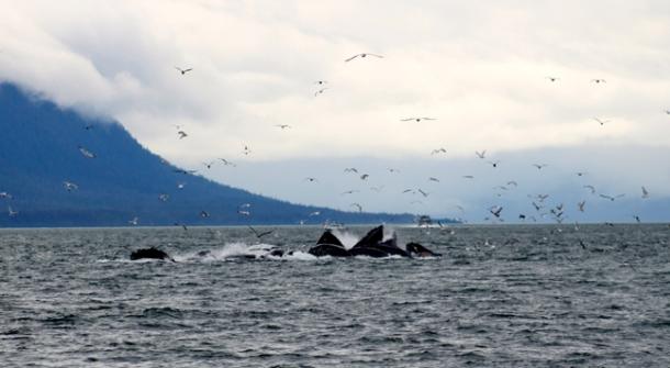 humpback2-w