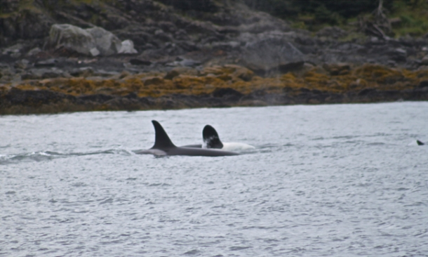 orcas-w