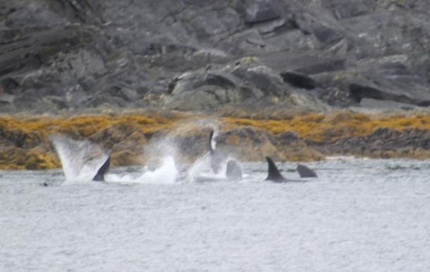 orcas2-w