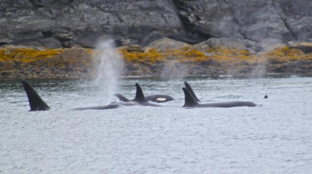 orcas3-w
