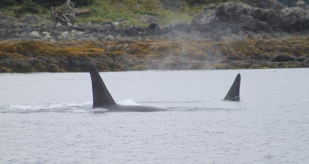 orcas4-w