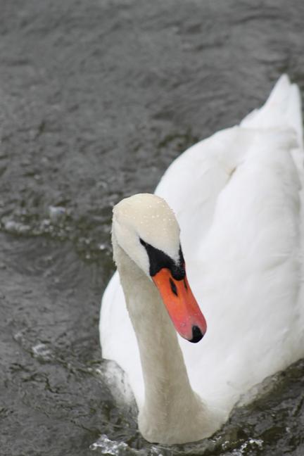 swan1-w