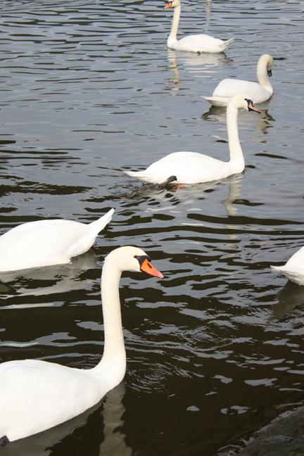 swan2-w