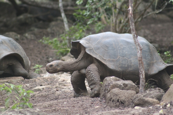 tortoises8-w