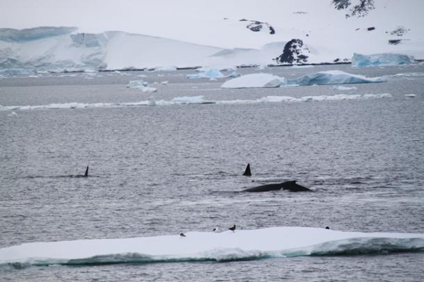 antarcticatattered18-w