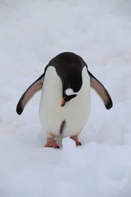 antarcticatattered19-w