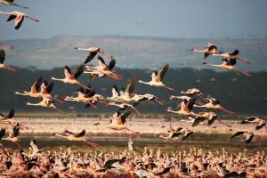 Flamingos-Lake-Nakuru_2